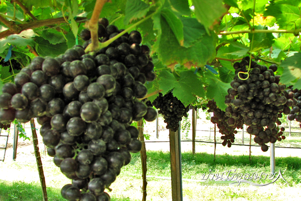 10 สวนผลไม้ โต้ผลลัพธ์ไม้ ลิ้มรสกรณีอร่อยซึ่งกันและกันไล่ตามฤดูครั้ง